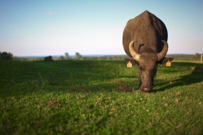 bufala fusco mangimi