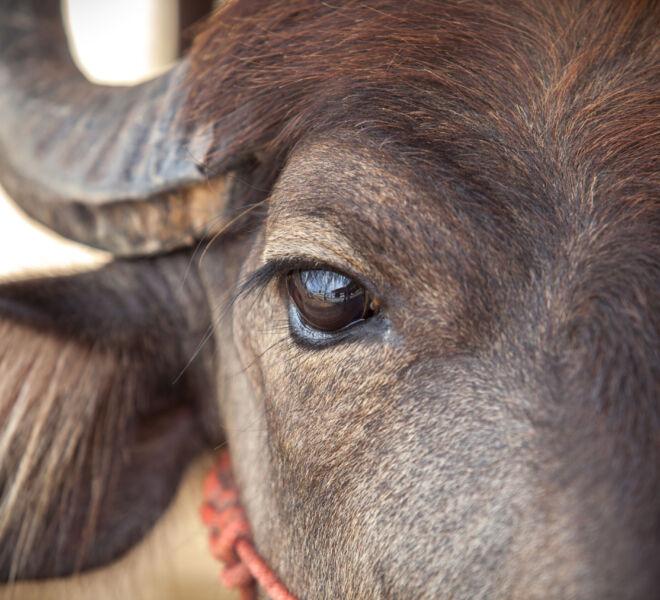 Eye Dairy buffalo